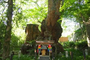 来宮神社の大楠(樹齢2,000年以上)